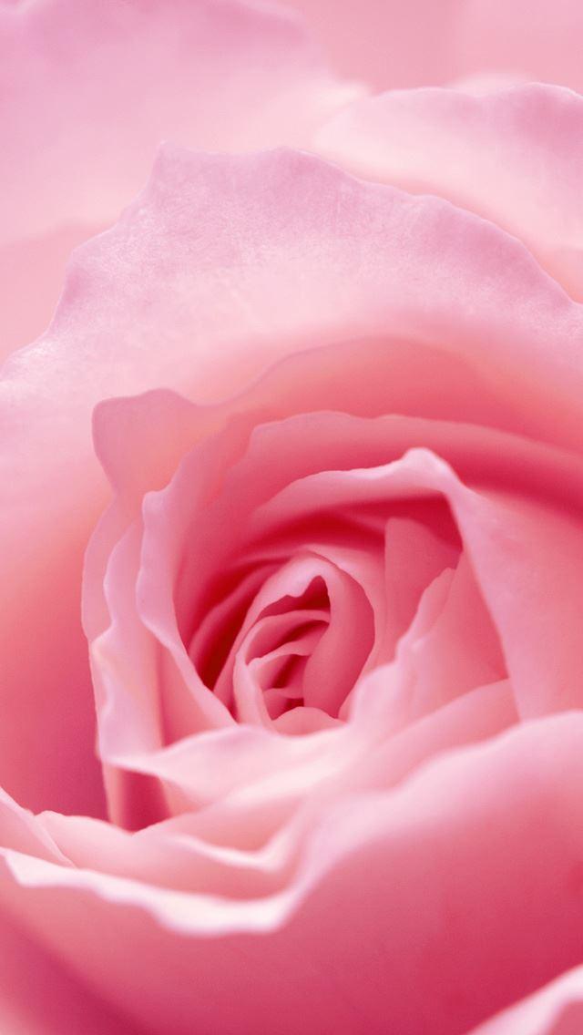 Light Pink Rose Macro IPhone Se Wallpaper Download