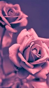 Beautiful Pink Rose Closeup iPhone 5(s/c)~se wallpaper