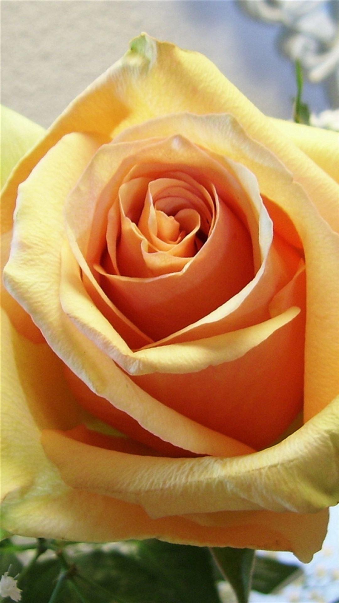 Rose Flower Tender Bud Close Up iPhone se wallpaper