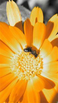Flower Bee Orange Pollination iPhone se wallpaper