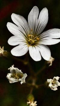 Nature Dark White Bloomy Flower Plant Macro iPhone se wallpaper