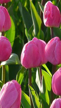 Nature Pink Tulips Flowers Garden iPhone se wallpaper