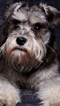Miniature Schnauzer Cute Dog Animal iPhone se wallpaper