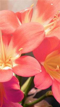 Flower Red Nature Yellow Blossom Shiny Love iPhone se wallpaper