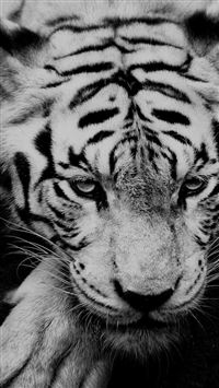 Black And White Tiger Portrait  iPhone se wallpaper