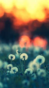Dandelions at Sunset iPhone se wallpaper