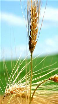 ripe wheat ears iPhone se wallpaper