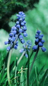 Muscari Flowers iPhone 5(s/c)~se wallpaper