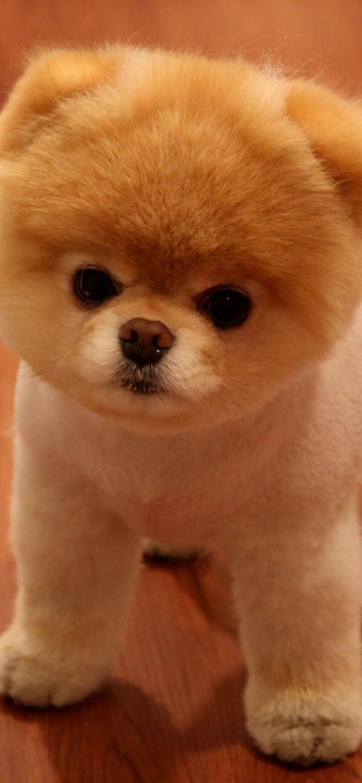 Cute Pomeranian Dog IPhone Se Wallpaper