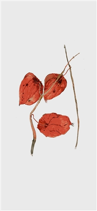 Abutilon Striatum Illust Art Flower Drawing iPhone X wallpaper
