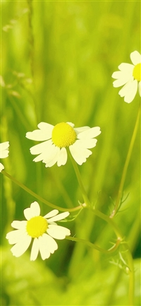 Spring Flower White Grass Nature iPhone X wallpaper