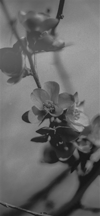 Flower Nostalgia Tree Spring Blossom Nature Bw Dark iPhone X wallpaper