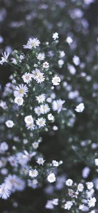 Daisy iPhone X wallpaper