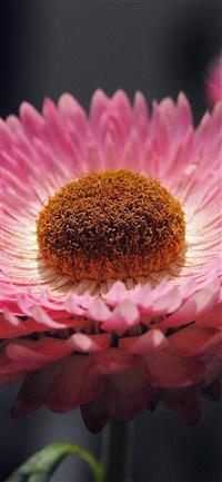 Bokeh flower pink iPhone X wallpaper