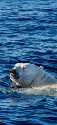 Swim polar bear sea animal iPhone wallpaper