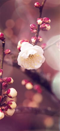 Apricot flower bud flare spring iPhone X wallpaper