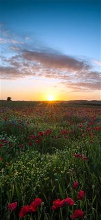 Sunset flower iPhone wallpaper