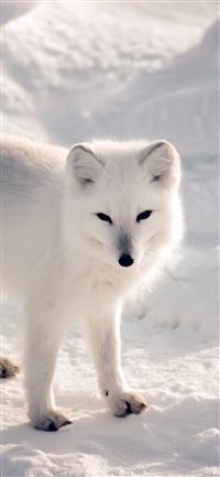 White fox iPhone X wallpaper