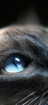 Cats blue eye cute iPhone X wallpaper