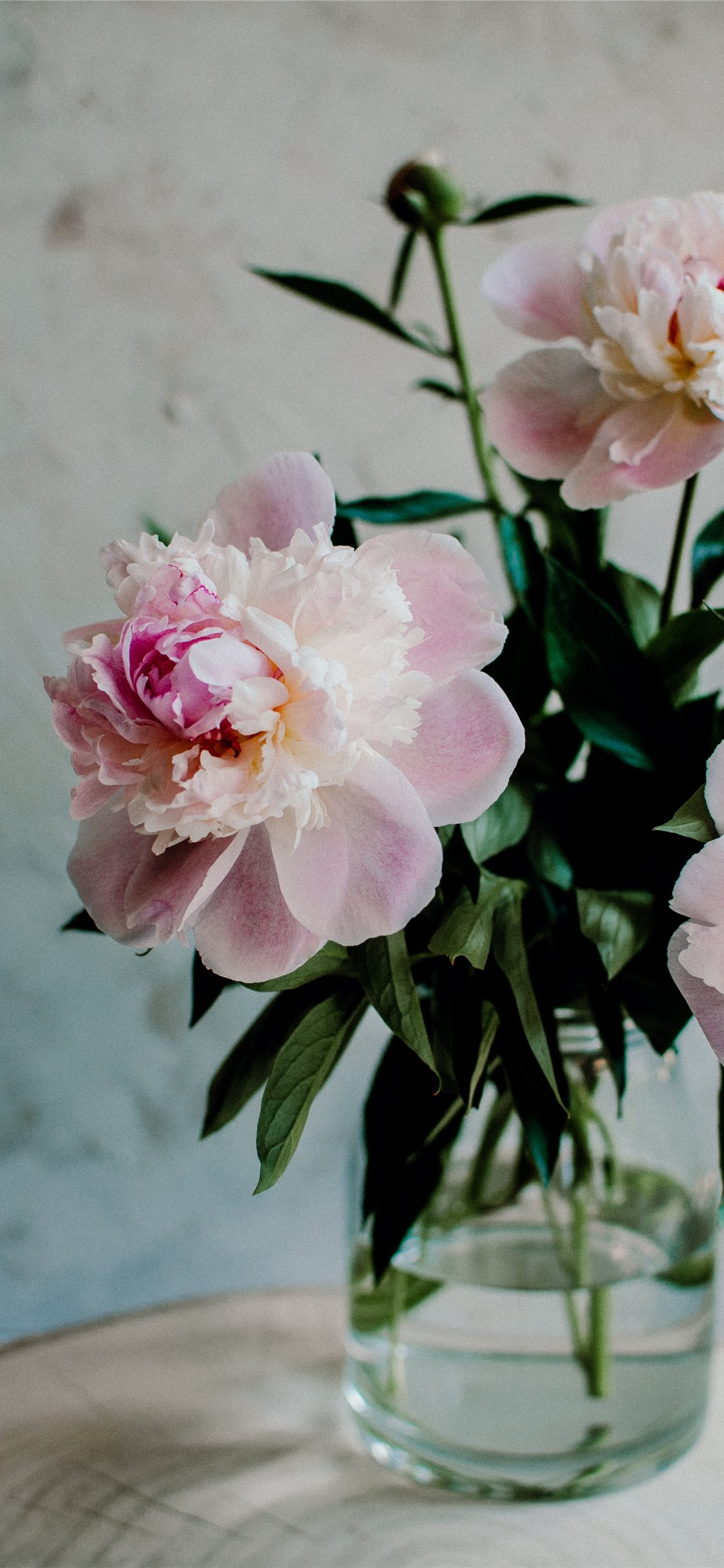blossom pink peonies iphone 8 wallpaper download | iphone wallpapers