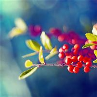 Red Berries Branch iPad Air wallpaper