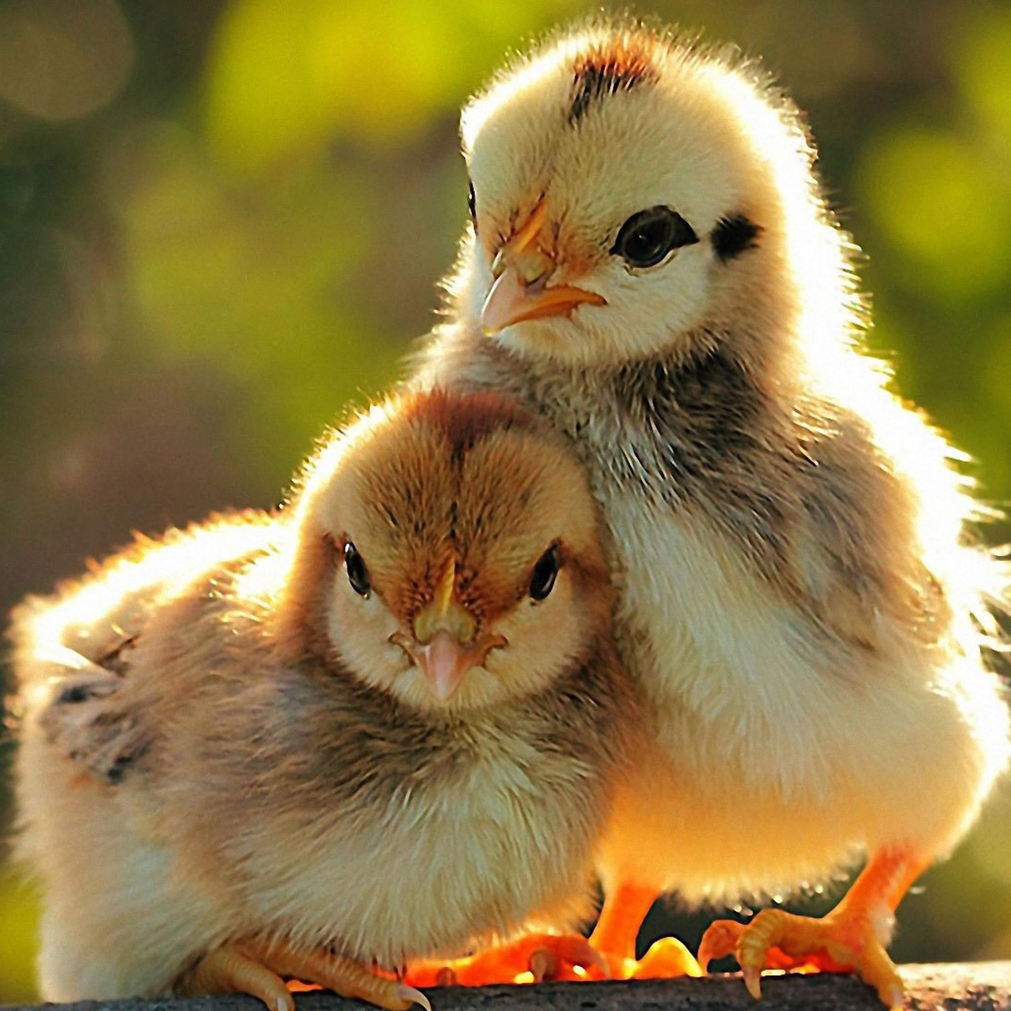 Cute Chicks Under Sunlight iPad Air wallpaper