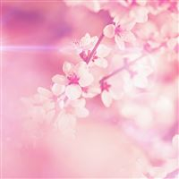 Spring Pink Cherry Blossom Flare Nature iPad wallpaper