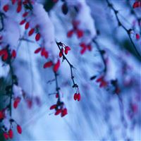 Winter Snowy Red Berries Branch iPad Air wallpaper