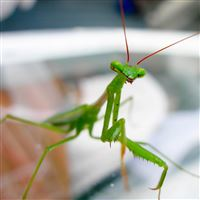 Cute Nature Green Mantis iPad Air wallpaper