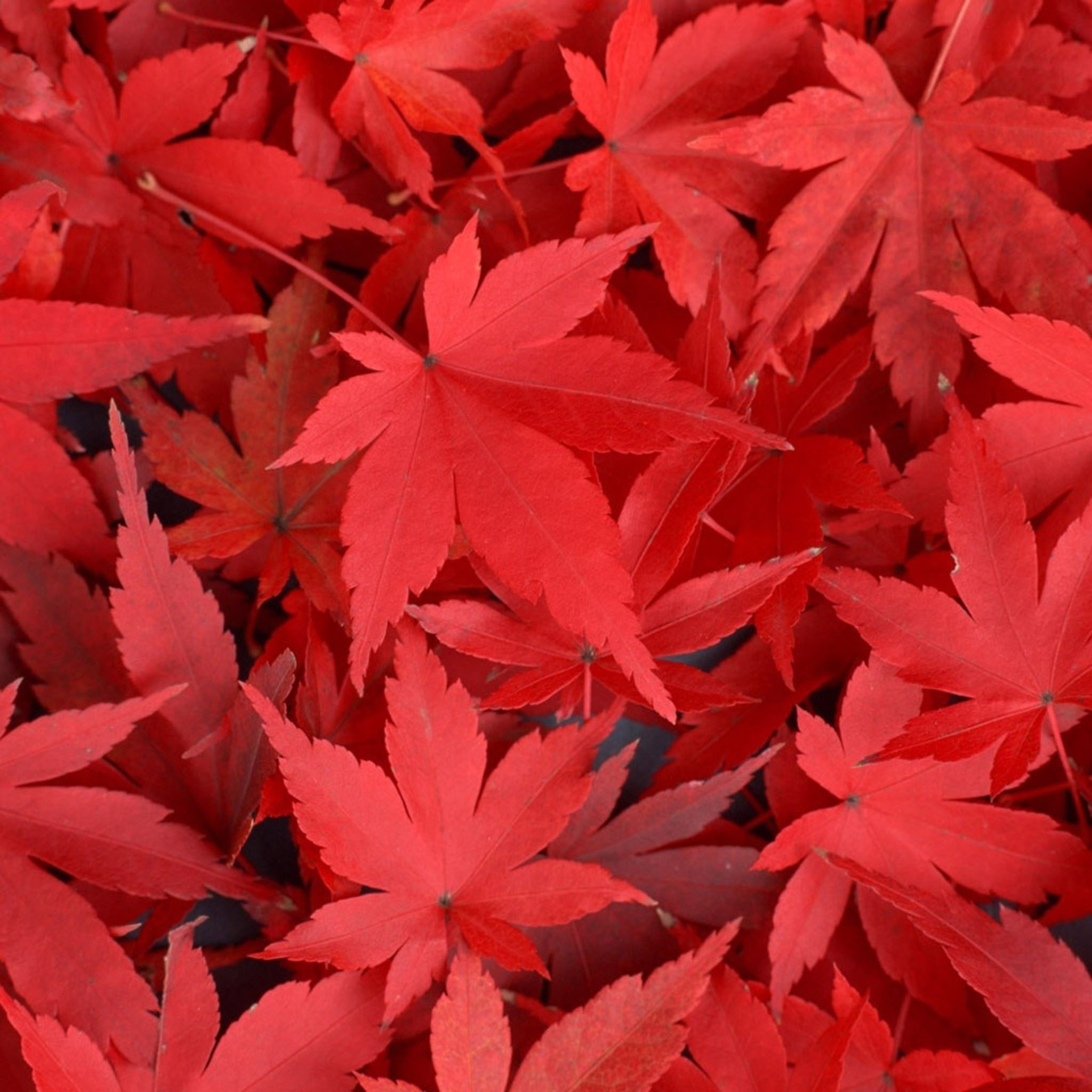 pure autumn red maple leaves overlap ipad air wallpaper download