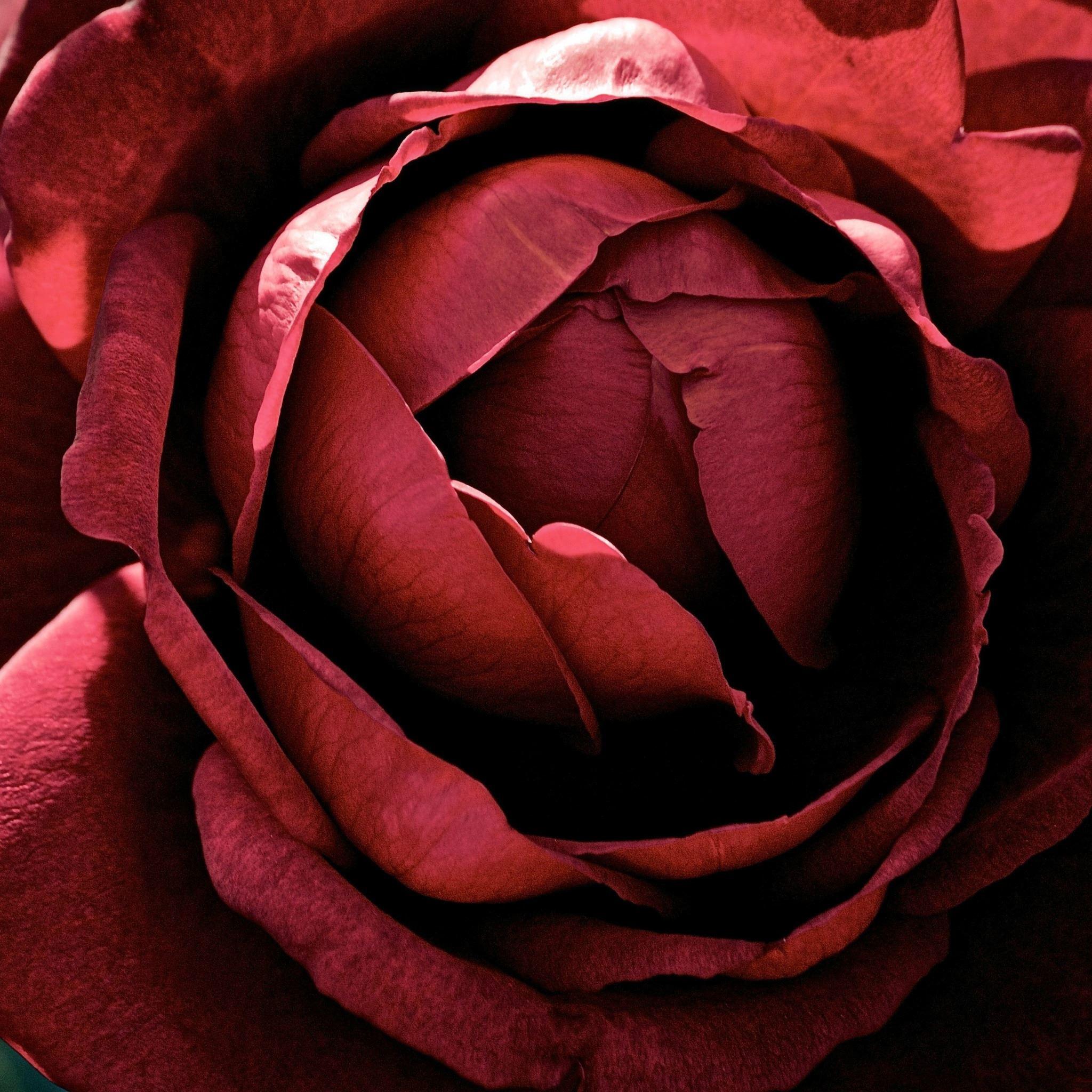Dark red rose aesthetic