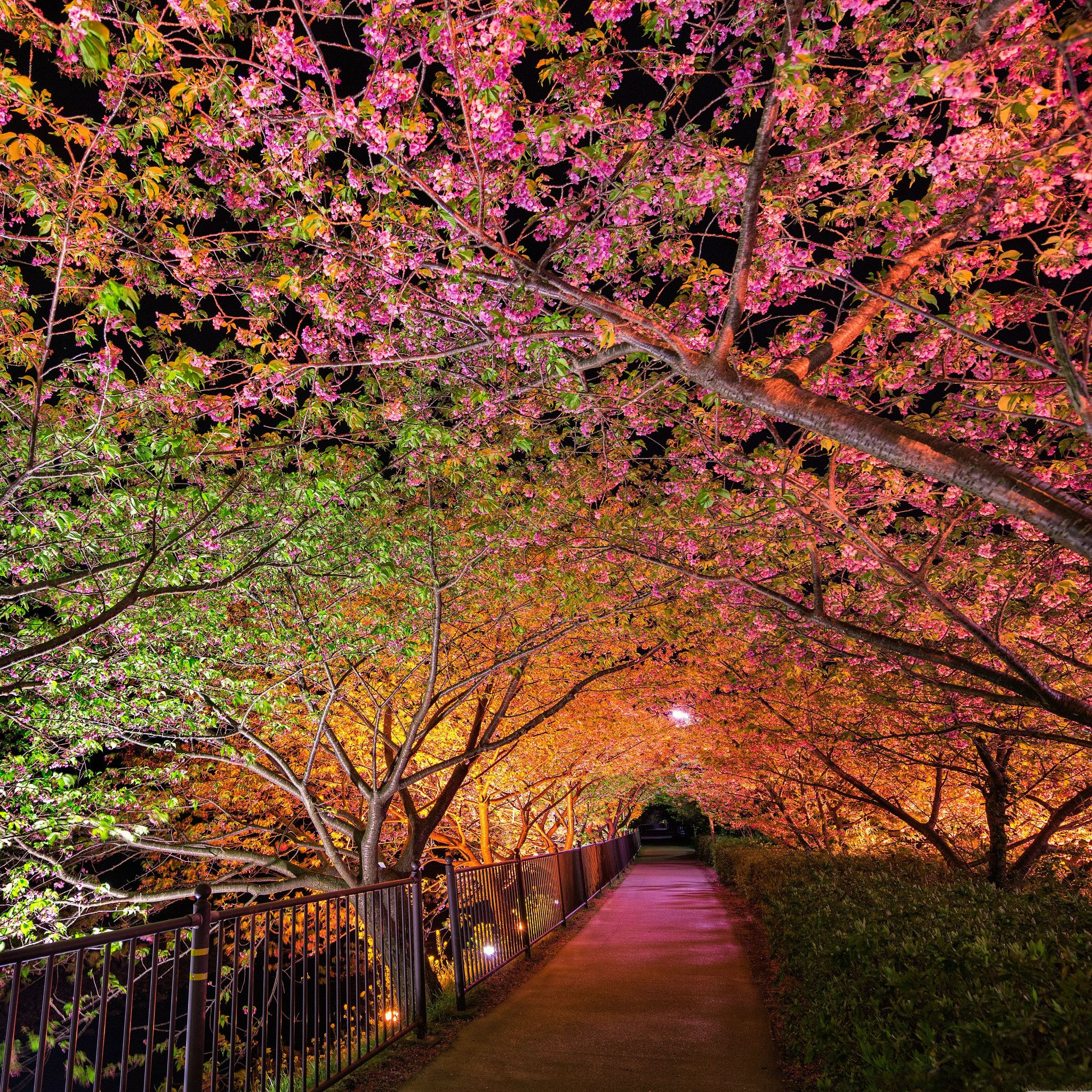 Tunnel Of Love Among Pink Cherry Trees  iPad Air wallpaper