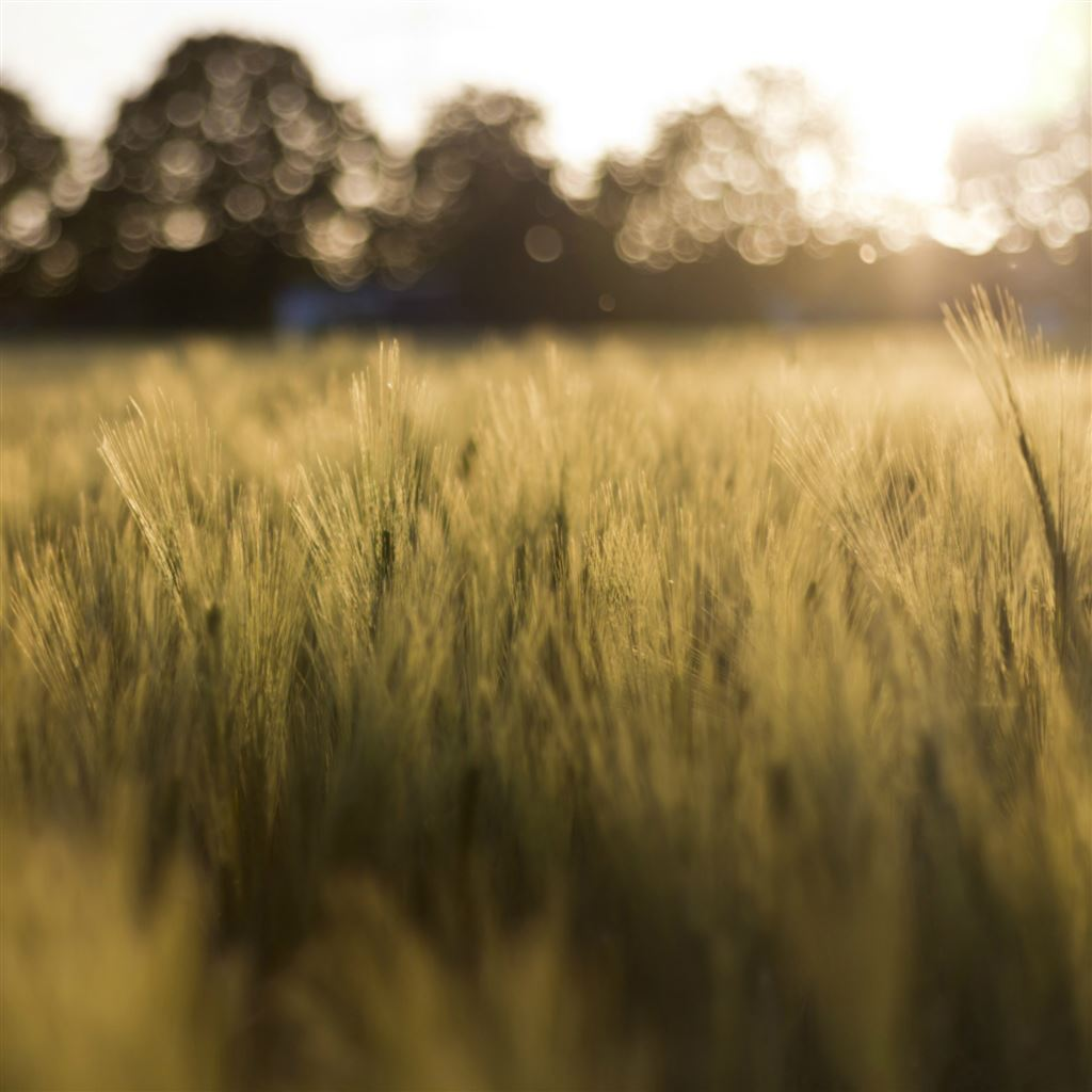 Smartphone Wallpaper 4k Nature: Wheat Field In The Sunshine IPad Air Wallpapers Free Download