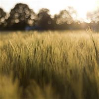 Wheat Field In The Sunshine iPad Air wallpaper