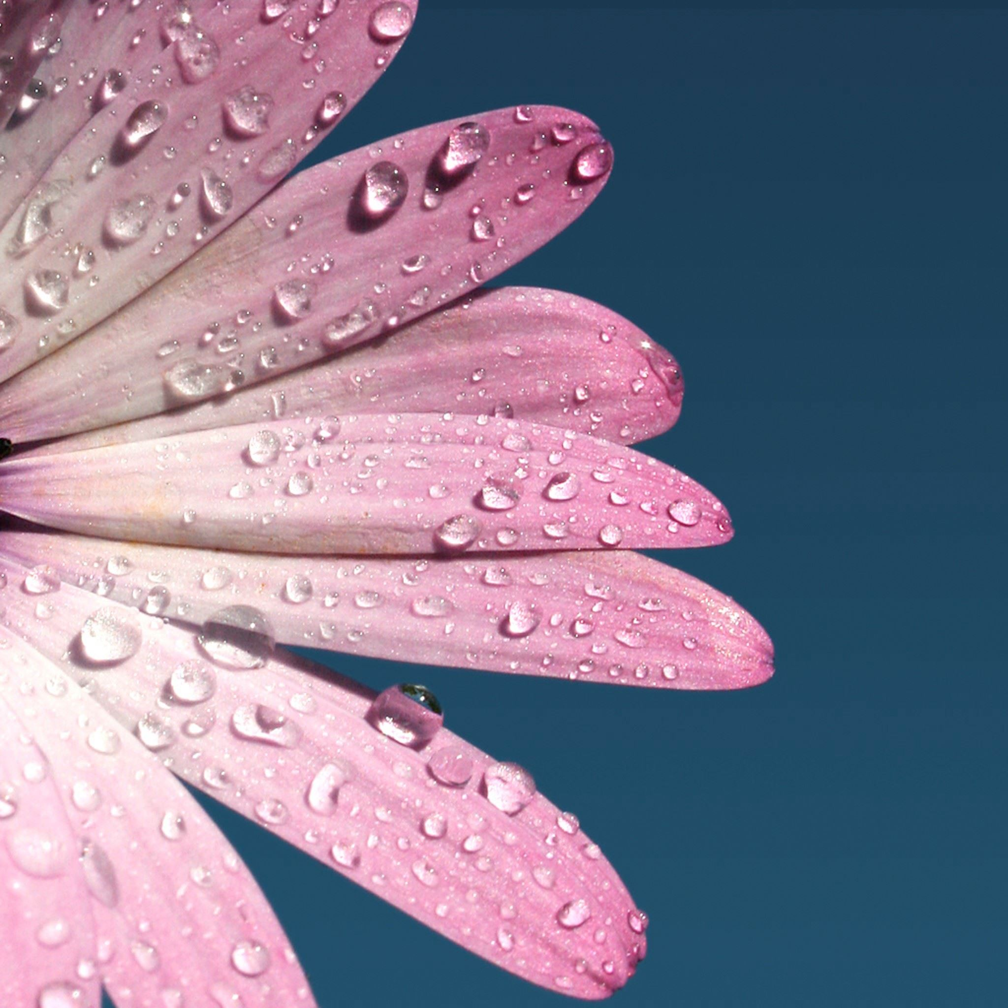 Pink Daisy Flower Petal Dew Macro iPad Air wallpaper