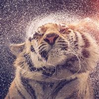 Shaking Tiger Water Animal Flare iPad Air wallpaper