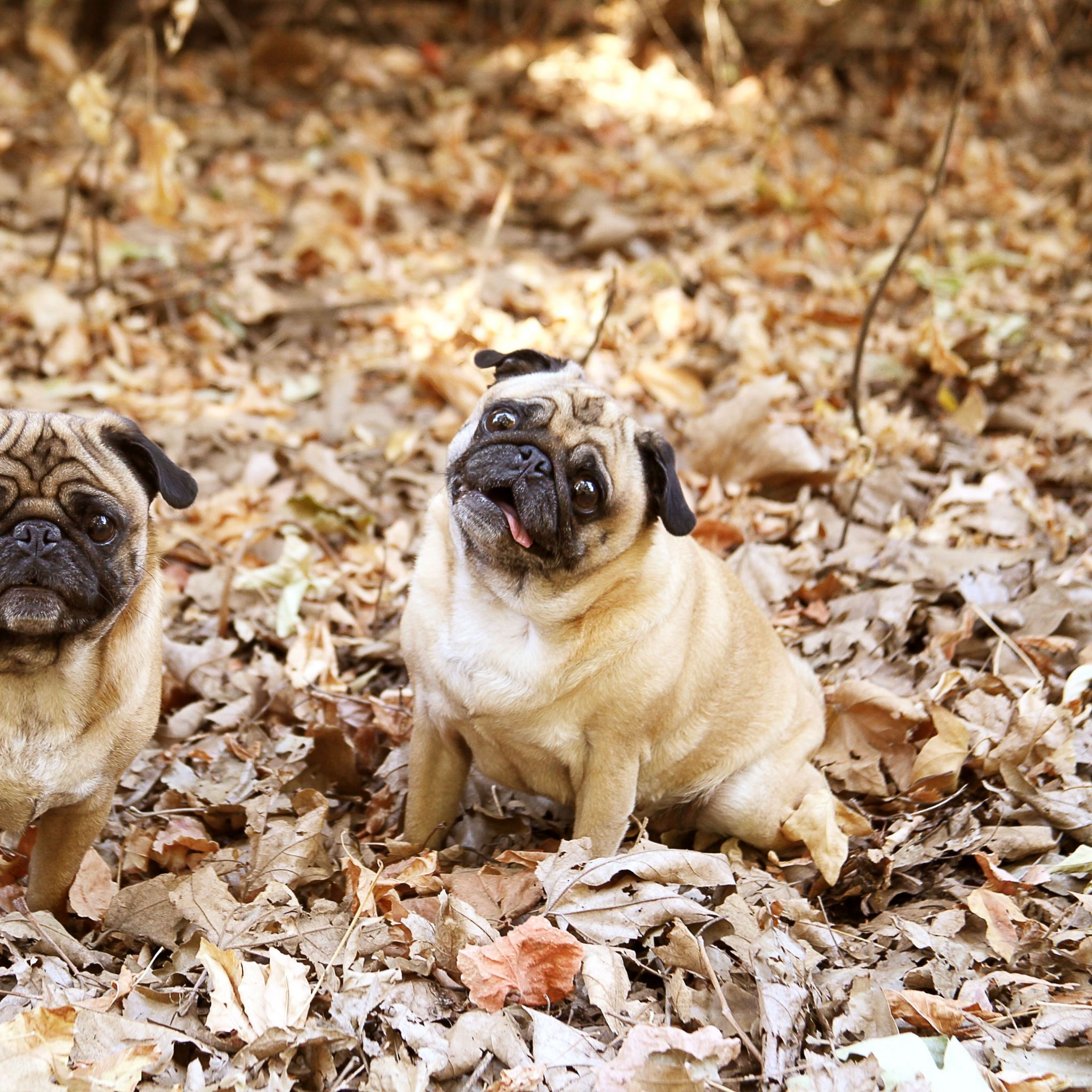 Pug Foliage Dogs Funny IPad Air Wallpapers Free Download