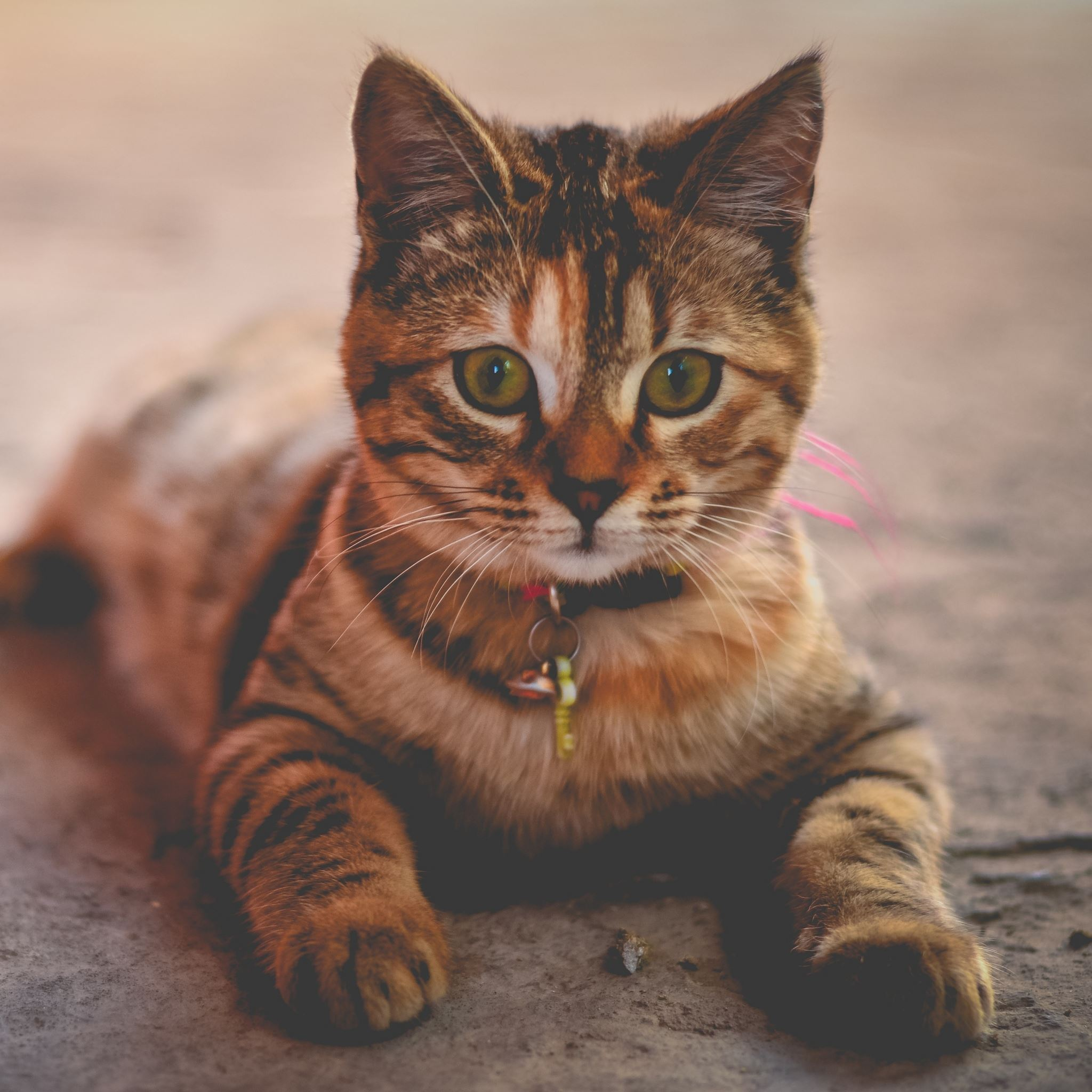 Cat Wallpapers For Iphone: Cat Collar Lying Home IPad Air Wallpaper Download