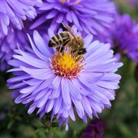 Bee Flower Pollination iPad Air wallpaper