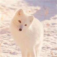 Winter Animal Fox White Flare iPad wallpaper