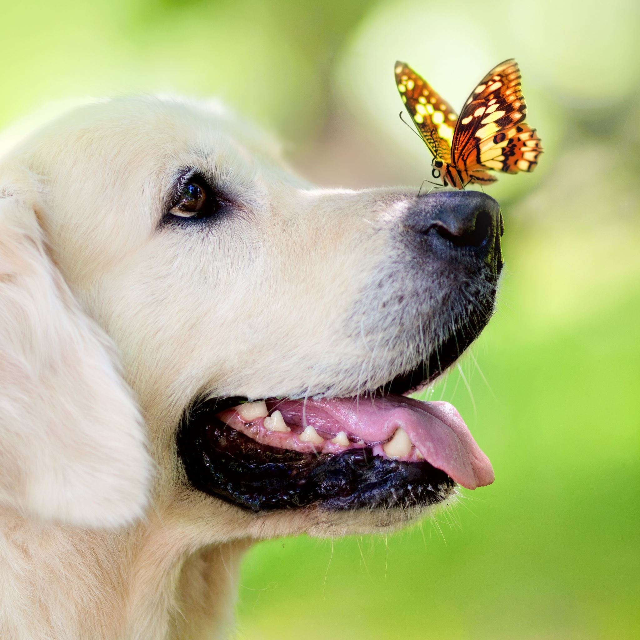 Dog Butterfly IPad Air Wallpapers Free Download