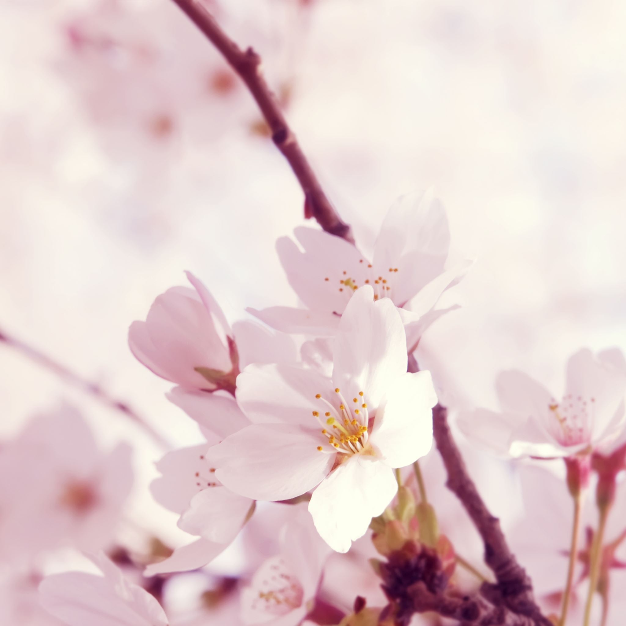 Peach blossom iPad Air wallpaper