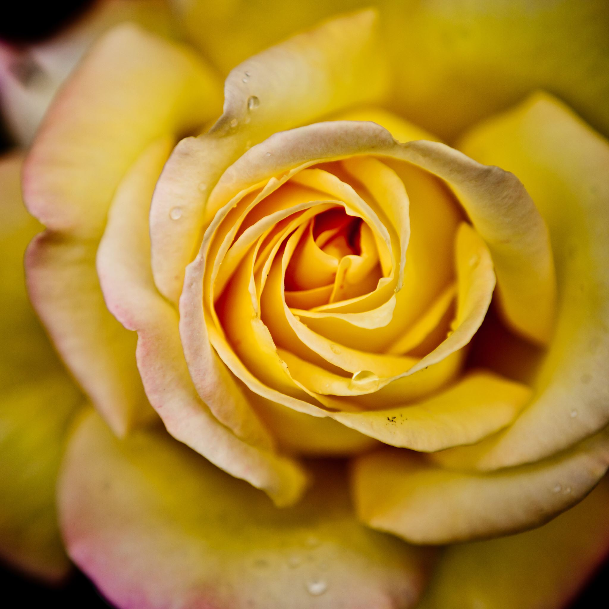 Yellow Rose iPad Air wallpaper