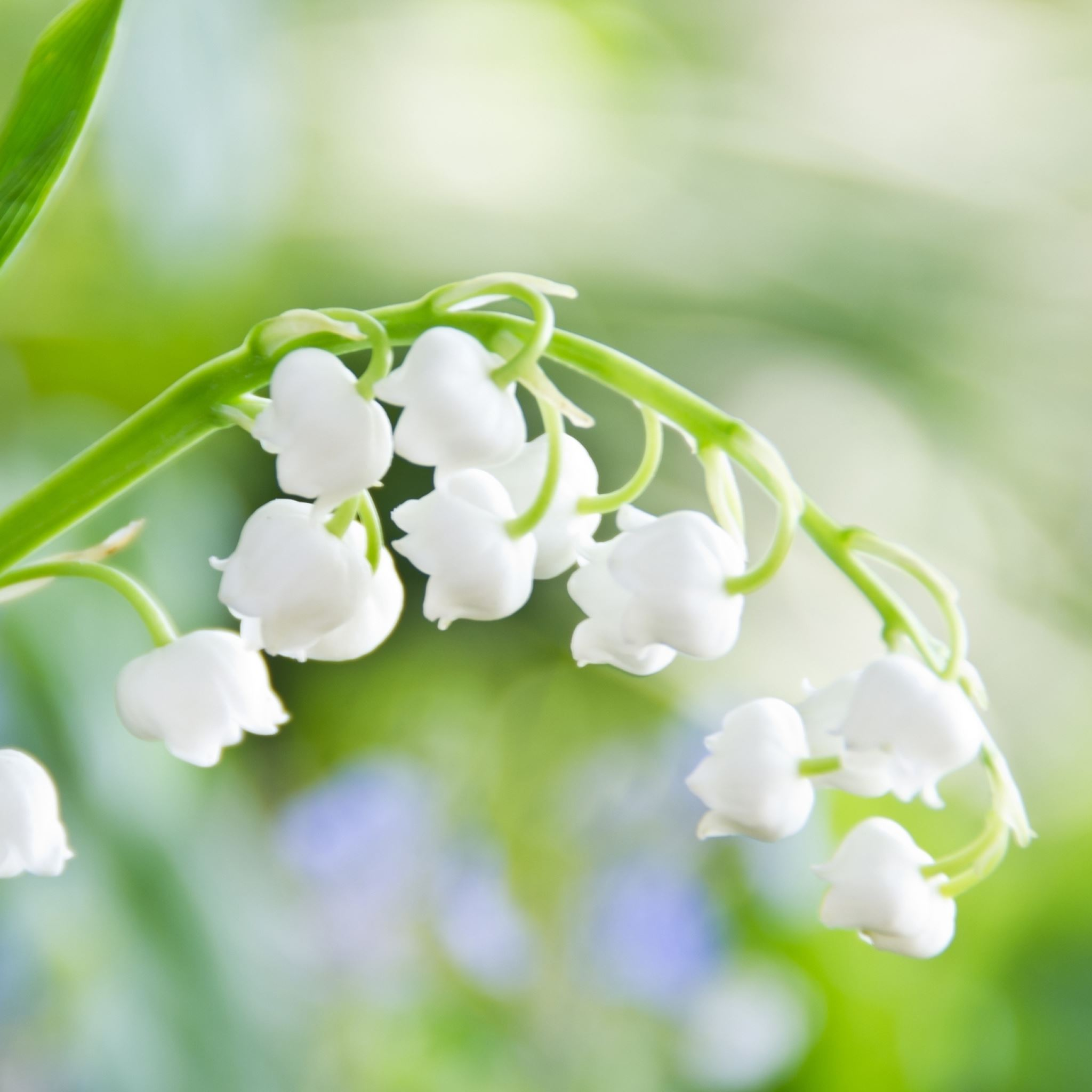 Lily of the Valley Flower Macro iPad Air wallpaper