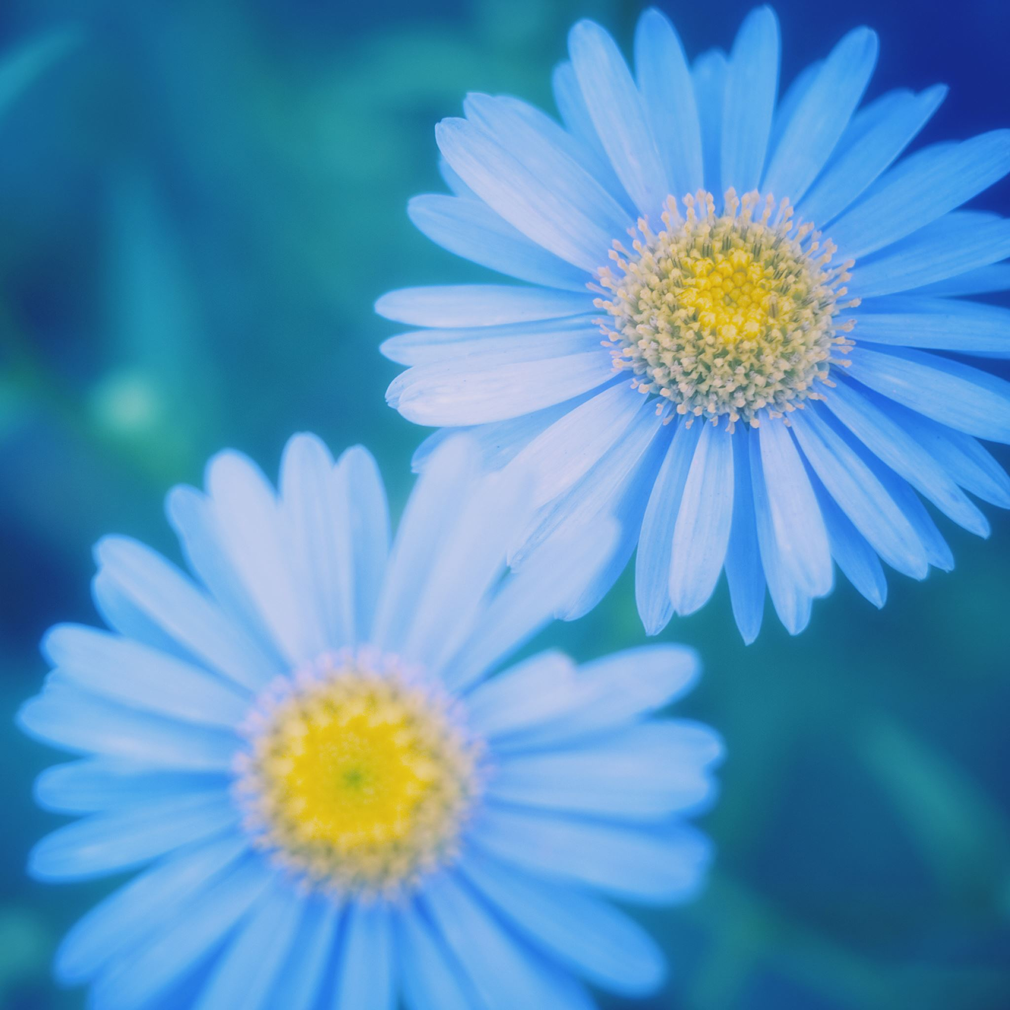 Blue Daisies iPad Air wallpaper