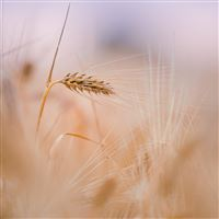Wheat Spike Summer iPad Air wallpaper