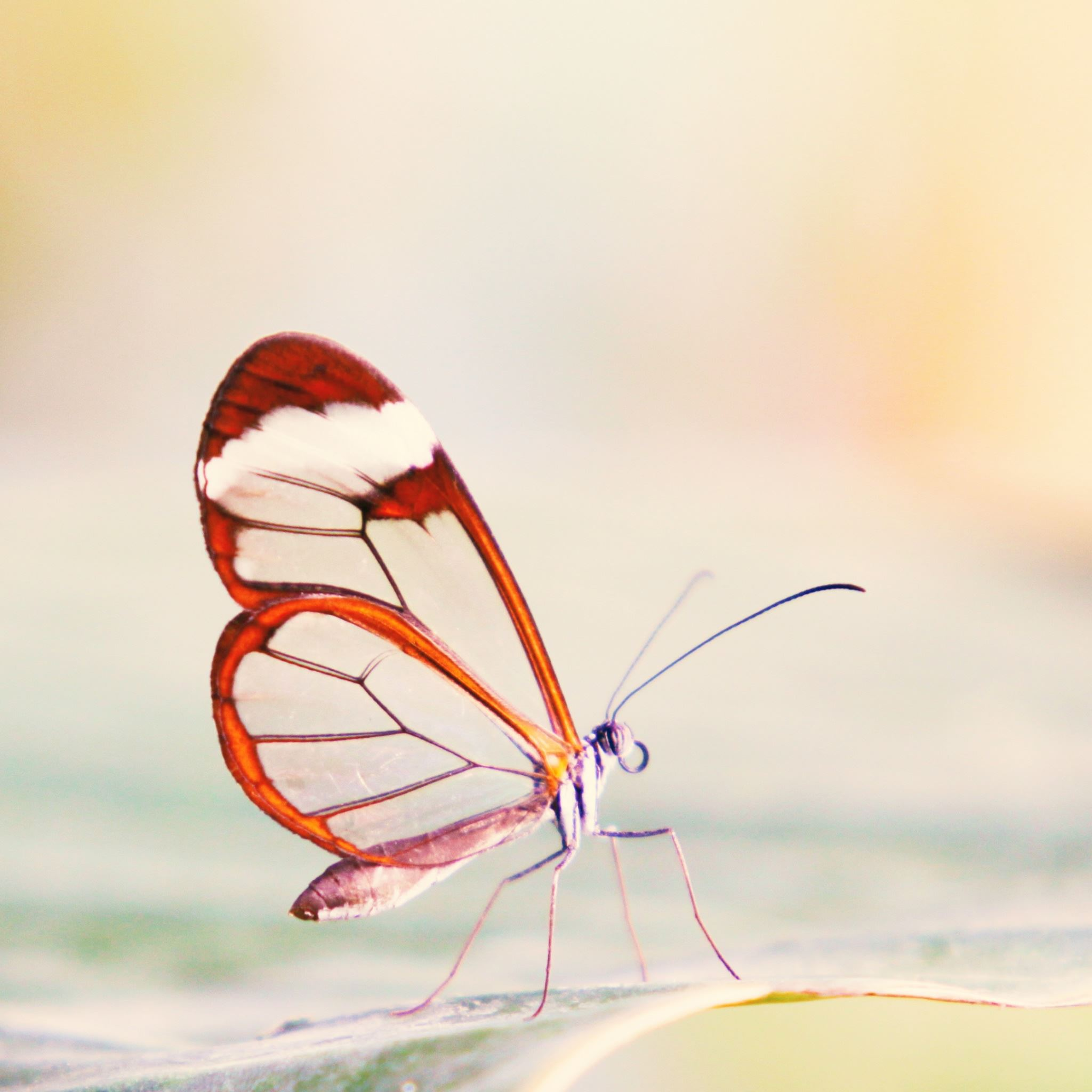 Transparent Wings Butterfly iPad Air wallpaper