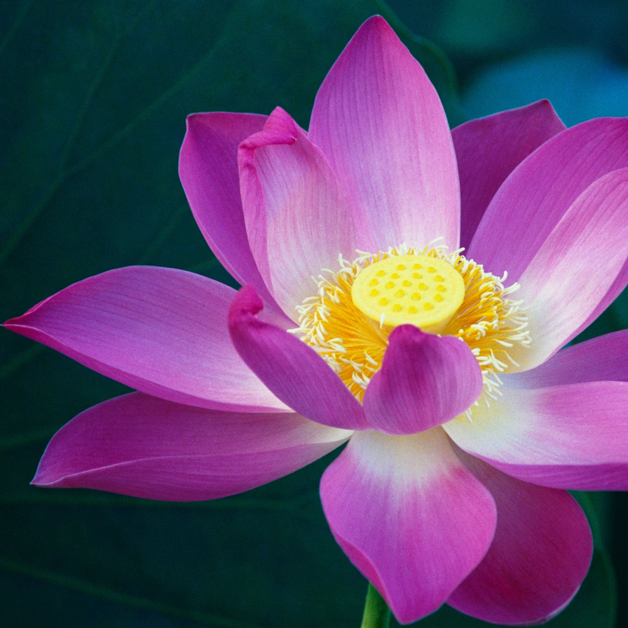 Lotus Flower Ipad Air Wallpaper Download Iphone Wallpapers Ipad