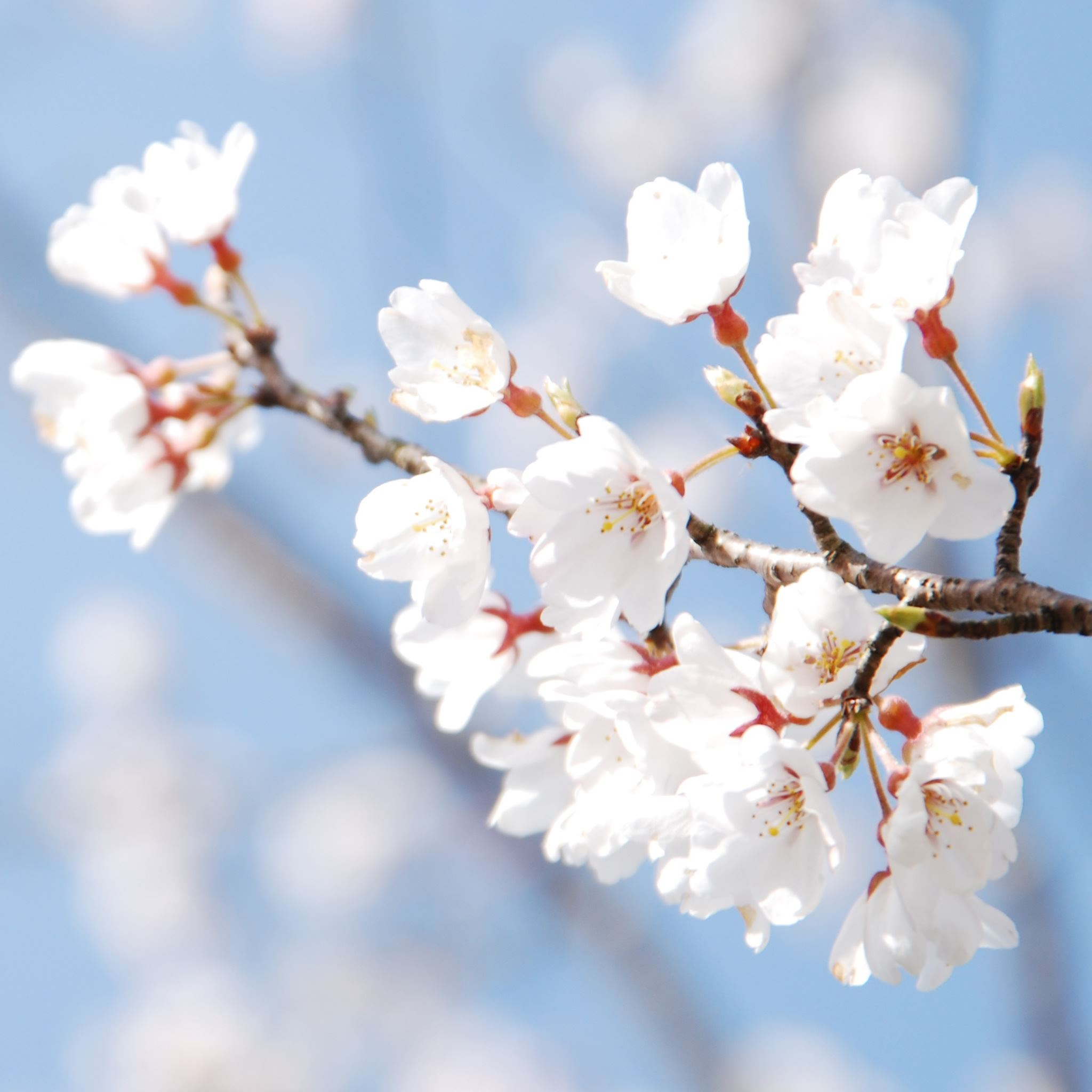 Cherry Blossom And Blue Sky iPad Air wallpaper