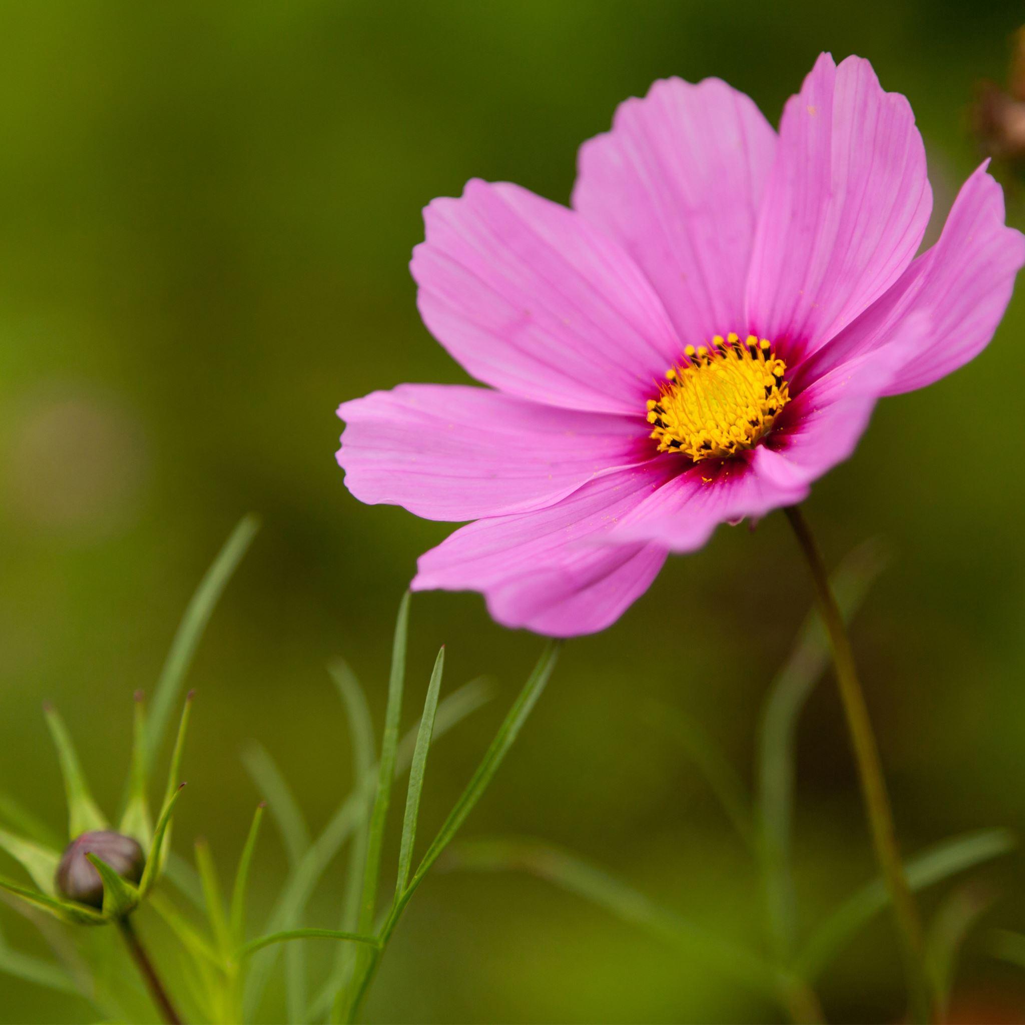 Pink cosmos flower ipad air wallpaper download iphone wallpapers pink cosmos flower ipad air wallpaper mightylinksfo